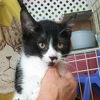 元気な黒白猫さん パンちゃん 3か月の男の子