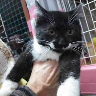 ちょっと怖がりの黒白猫さん もずく 3か月の女の子