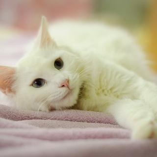 白猫長毛青目美人
