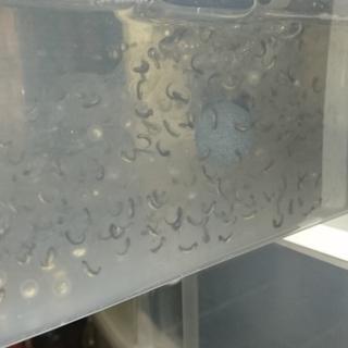 ウーパールーパー孵化直前の卵