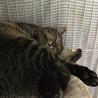 人懐っこい男前猫 チーターくん
