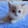 キレイな顔立ちとミルキーな毛色の癒し子猫ちゃん