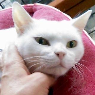 真っ白なメリーちゃんは福島被災猫
