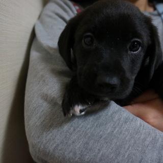 【募集停止】生後1ヶ月位、雑種の仔犬のジョー♀