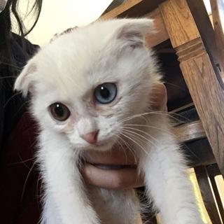 かわいいオッドアイの白猫ちゃん♡