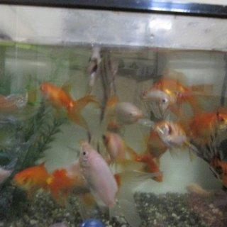 金魚(出目金など)スカラレエンゼルなど30匹くらい