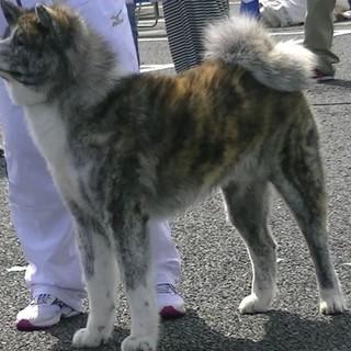 秋田犬保存会の展覧会で賞歴 特優を頂いて居ります。