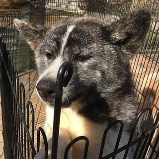 虎毛の秋田犬 8ヵ月のオス