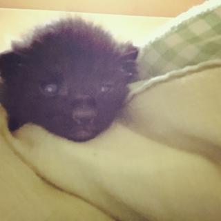 黒猫2匹♂キジ♀兄弟