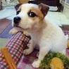 天真爛漫、明るく元気な子犬のミラ君 サムネイル4