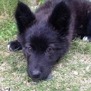 可愛いこぐまちゃん!賢く性格の良い子犬チナセちゃん