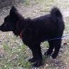 可愛いこぐまちゃん!賢く性格の良い子犬チナセちゃん サムネイル2
