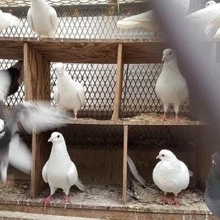 きれいで可愛い鳩の里親を募集中です!!