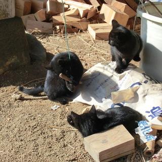 子猫3匹の里親を募集しています