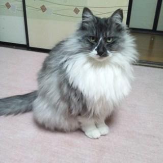 ノルウエジャンミックスの賢いママ猫6歳