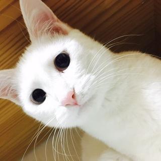 白猫ちゃんと白猫ビッグもふもふくん