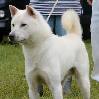 紀州犬 ショータイプの美犬(オス)