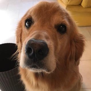 ゴールデンレトリバー(メス)里親募集です!