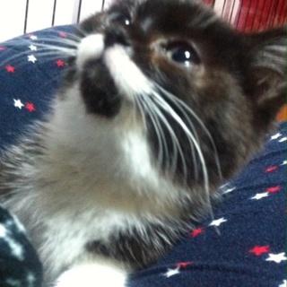 かぎしっぽのかわいい白黒子猫 女の子