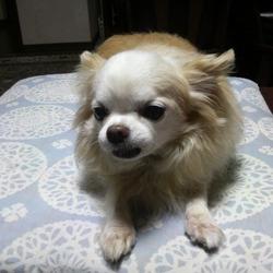 15才の老犬チワワです。食欲がありません。