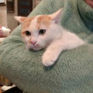可愛いミルクティー猫4ヶ月