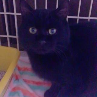 黒猫ちゃん!急遽募集!
