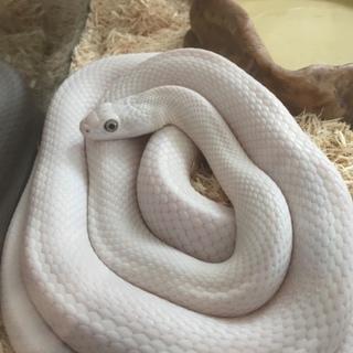 白蛇さんの里親探してます!