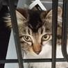 キジ白長毛子猫 メス4か月美猫