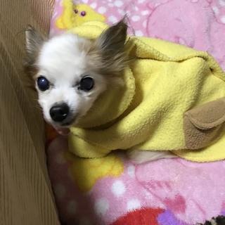 パピヨン☆小雪さん☆穏やかな子です