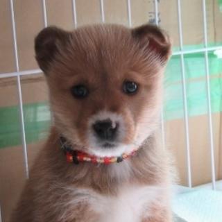 2か月子犬「マーチ」女の子