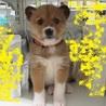 2か月子犬「マーチ」女の子 サムネイル2