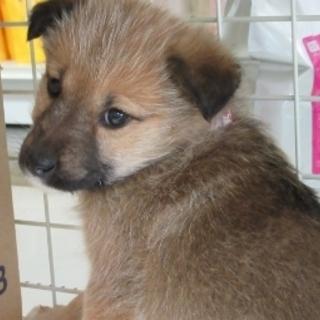 2か月子犬「モコ」女の子