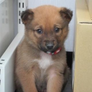 2か月子犬「ノート」男の子