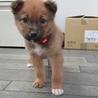 2か月子犬「ノート」男の子 サムネイル2