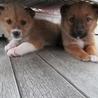 2か月子犬「ノート」男の子 サムネイル4