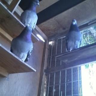 ハト 2羽を可愛いがってくださる方!