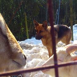 犬ですがヤギチームに入りました