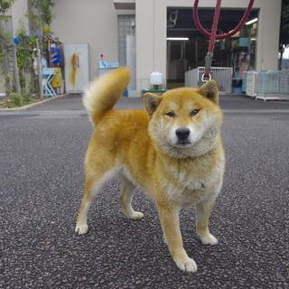【助けて下さい】怖がりな柴犬風ワンコ