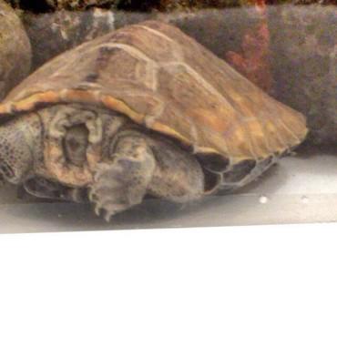 普段は暗くしてますが少し電気をつけたときに頭を甲羅に入れて寝てたタロちゃん。