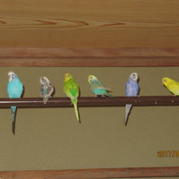 我が家の小鳥隊