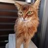 美猫 ソマリのミュウちゃん