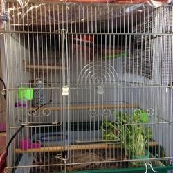 キンカチョウの巣引き(繁殖)