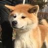 赤毛の秋田犬 9ヵ月のオス
