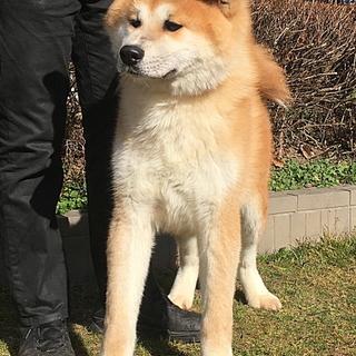 赤毛の秋田犬 11ヵ月のオス