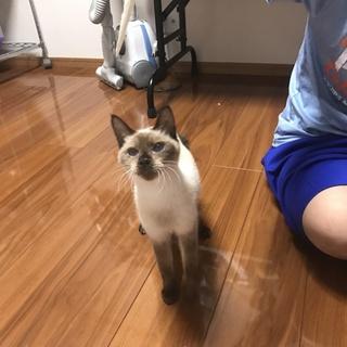 2歳シャム猫?