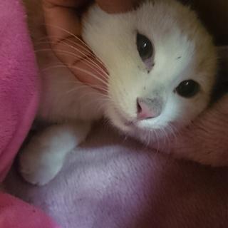 【ルーブル君】4ヶ月くらいの白猫