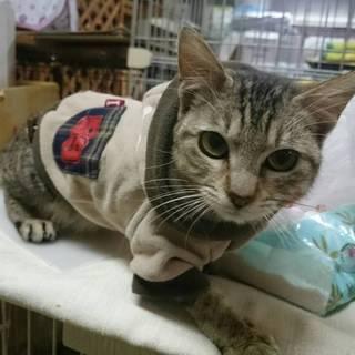 エイズキャリアの子猫【キジミちゃん】