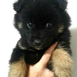 2か月弱の可愛い子犬黒