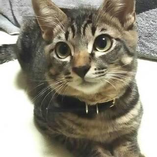 イケメン保護猫8ヶ月【ロンくん】去勢済み。