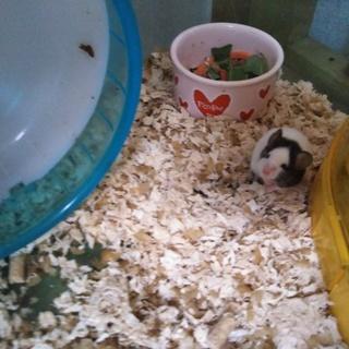 パンダマウス生後1ヶ月女の子1匹募集します。